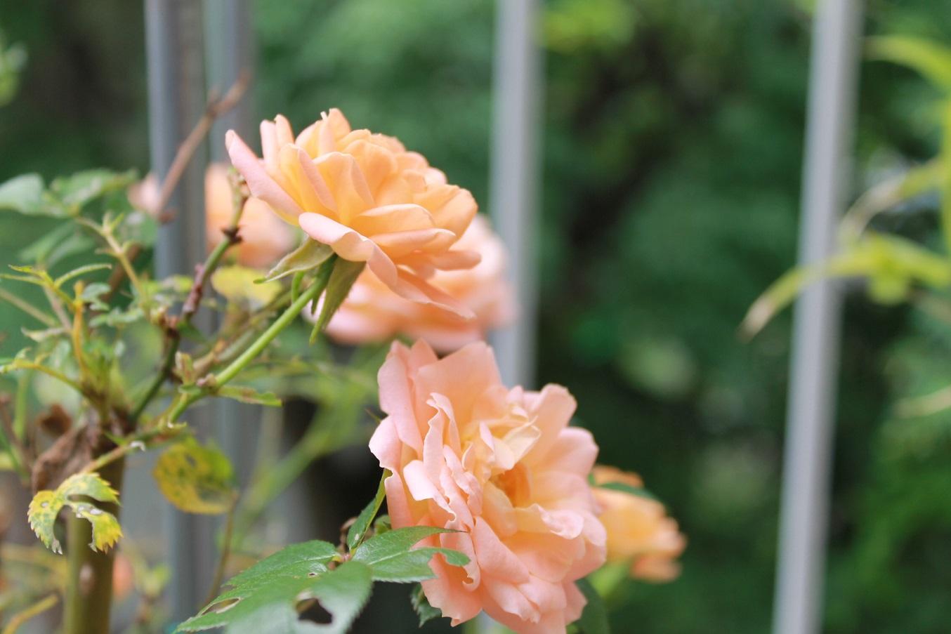 蘭香茶館の黄金牡丹花も満開しました。_f0070743_14132321.jpg