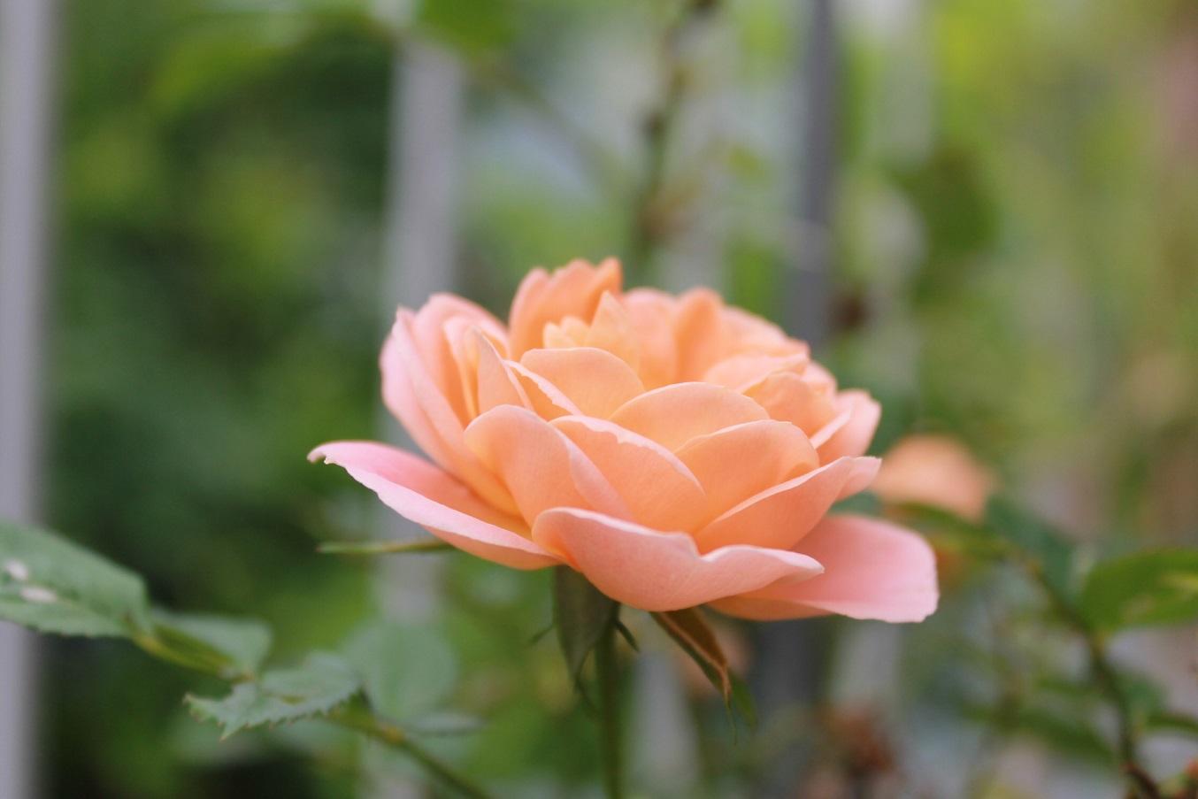 蘭香茶館の黄金牡丹花も満開しました。_f0070743_14133752.jpg