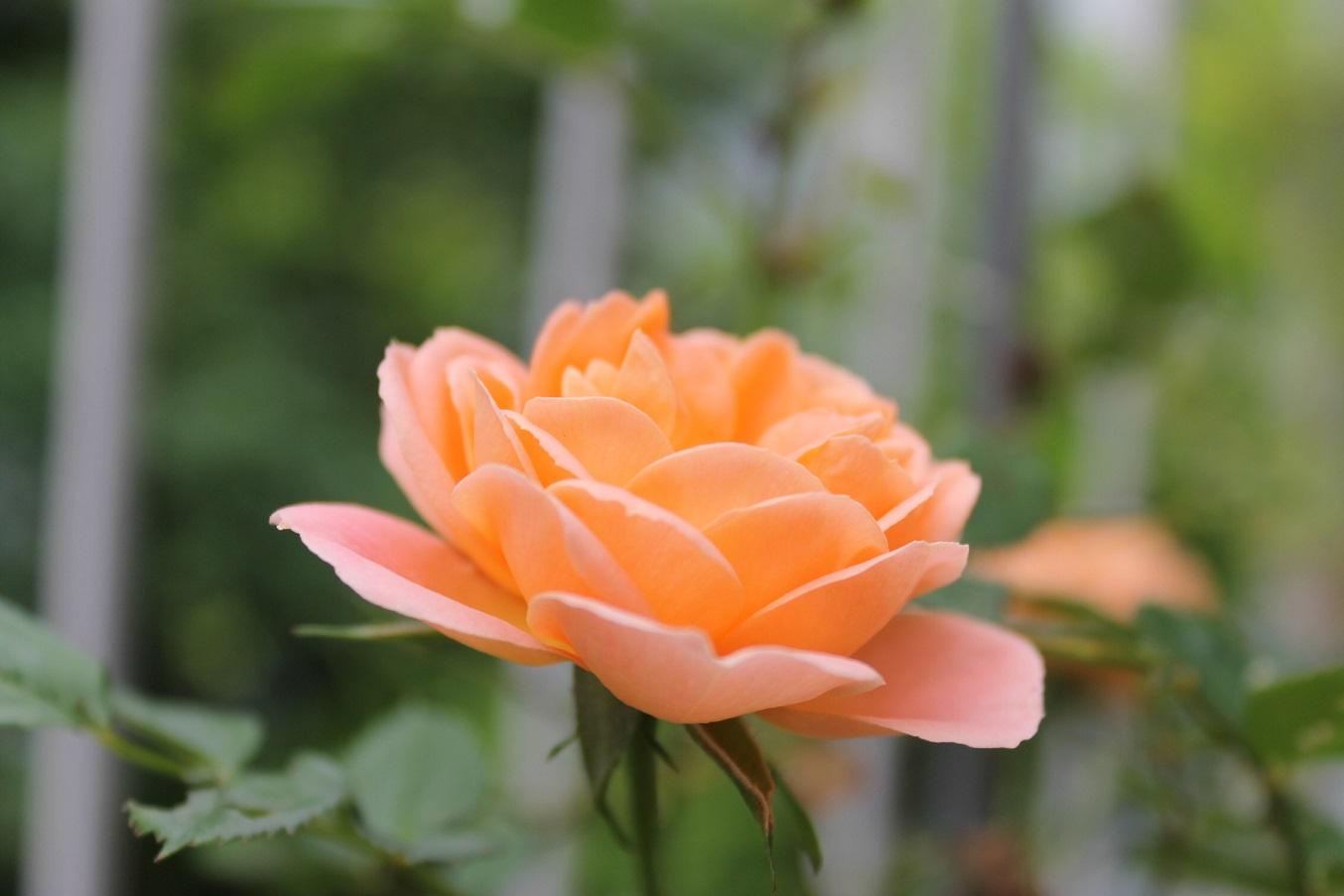 蘭香茶館の黄金牡丹花も満開しました。_f0070743_14134834.jpg