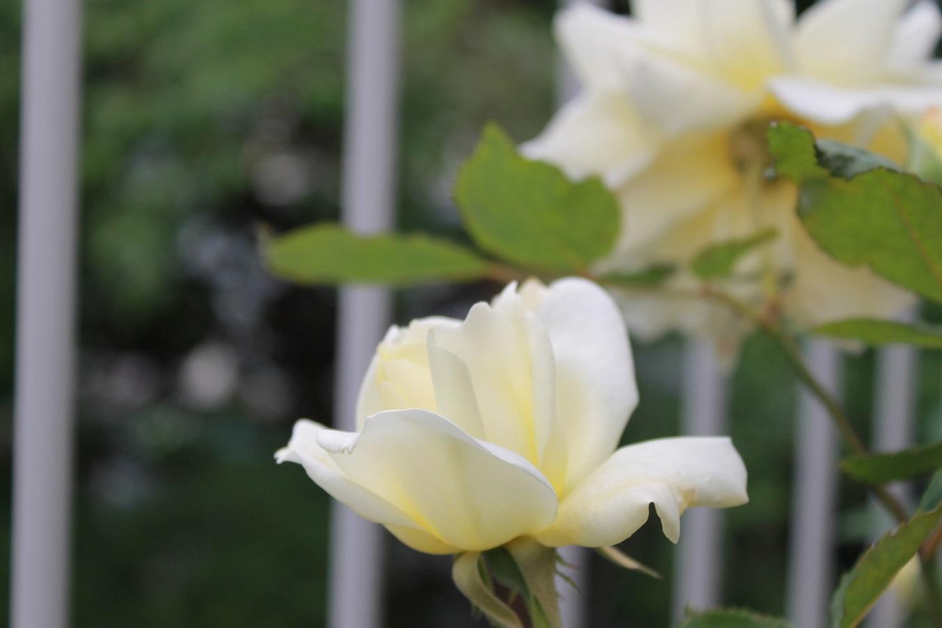 蘭香茶館の黄金牡丹花も満開しました。_f0070743_14142378.jpg