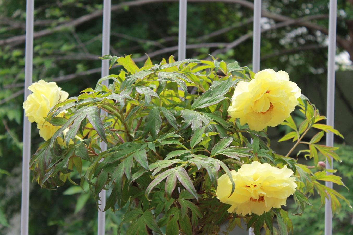 蘭香茶館の黄金牡丹花も満開しました。_f0070743_14143495.jpg