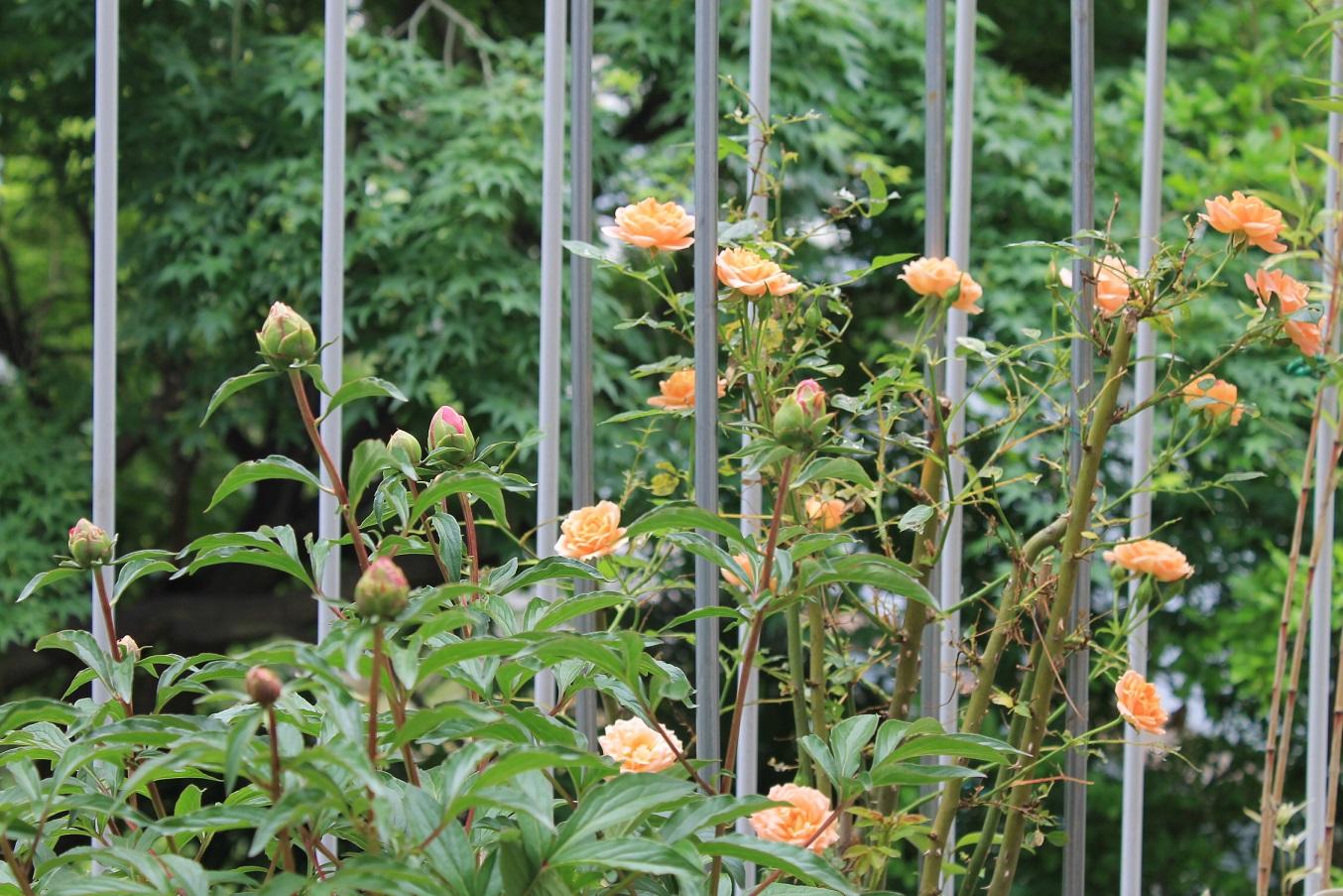 蘭香茶館の黄金牡丹花も満開しました。_f0070743_14144616.jpg