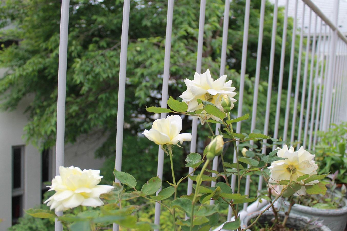 蘭香茶館の黄金牡丹花も満開しました。_f0070743_1414756.jpg