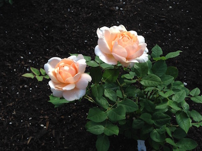 My Little Rose Garden_d0154102_13514374.jpg