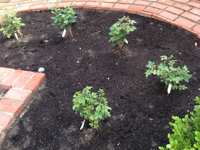 My Little Rose Garden_d0154102_13534774.jpg
