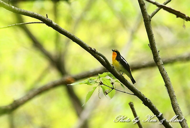 夏鳥 1番目は 「キビタキ」さん(^^♪_e0218518_21214020.jpg