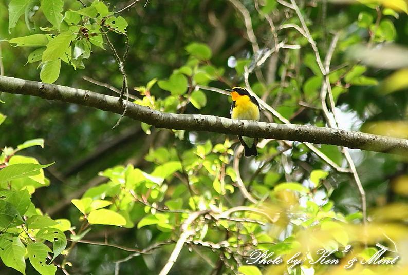 夏鳥 1番目は 「キビタキ」さん(^^♪_e0218518_21221154.jpg