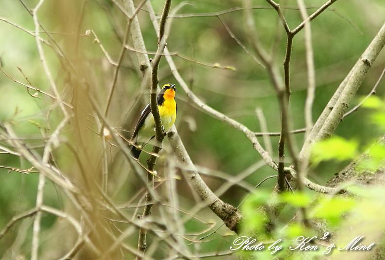 夏鳥 1番目は 「キビタキ」さん(^^♪_e0218518_21223711.jpg