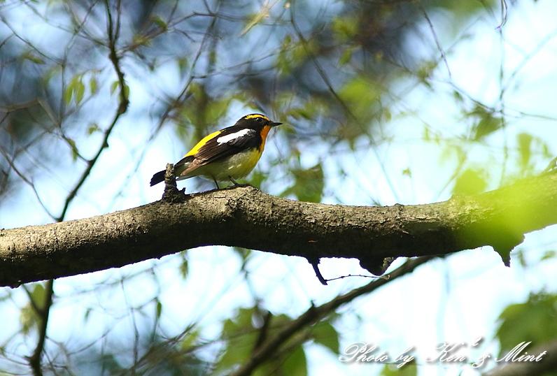夏鳥 1番目は 「キビタキ」さん(^^♪_e0218518_2123427.jpg