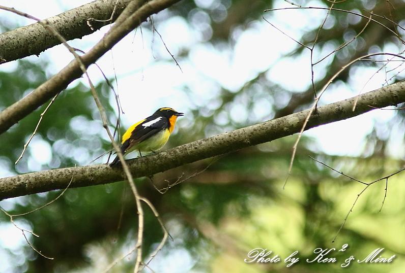 夏鳥 1番目は 「キビタキ」さん(^^♪_e0218518_21234369.jpg