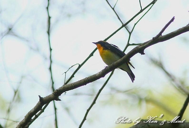 夏鳥 1番目は 「キビタキ」さん(^^♪_e0218518_2124923.jpg