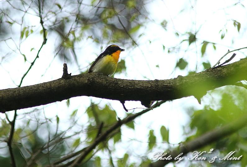 夏鳥 1番目は 「キビタキ」さん(^^♪_e0218518_2125160.jpg