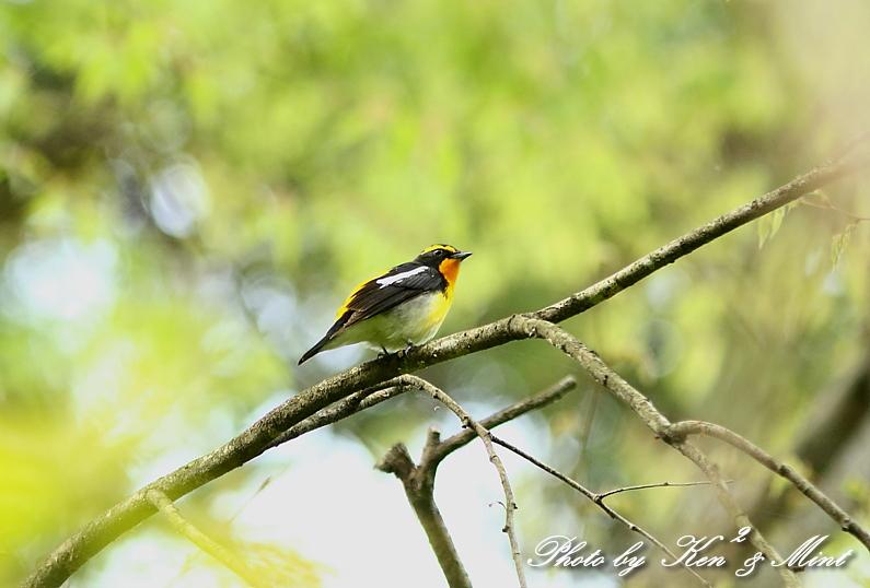 夏鳥 1番目は 「キビタキ」さん(^^♪_e0218518_21254358.jpg