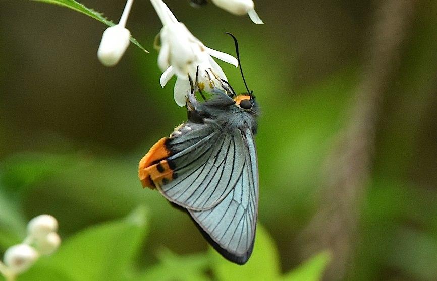 カラスシジミ幼虫&アオバセセリ今季初撮り(2016年5月4日) _d0303129_19471472.jpg
