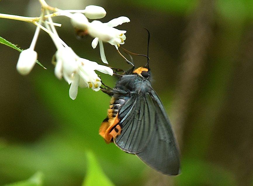 カラスシジミ幼虫&アオバセセリ今季初撮り(2016年5月4日) _d0303129_19472635.jpg