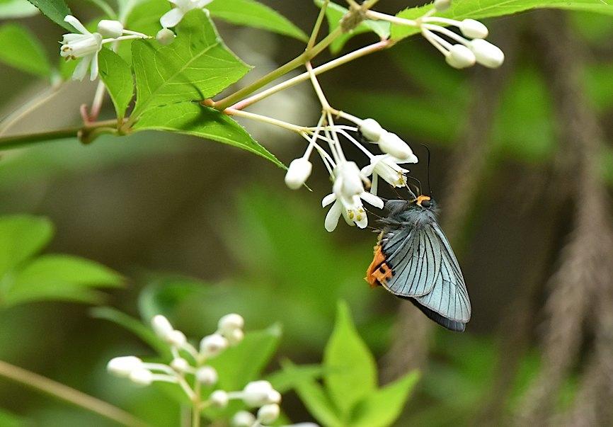 カラスシジミ幼虫&アオバセセリ今季初撮り(2016年5月4日) _d0303129_1947355.jpg