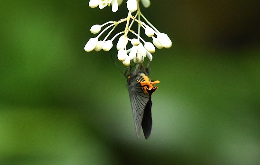 カラスシジミ幼虫&アオバセセリ今季初撮り(2016年5月4日) _d0303129_19473736.jpg