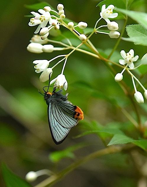 カラスシジミ幼虫&アオバセセリ今季初撮り(2016年5月4日) _d0303129_207584.jpg
