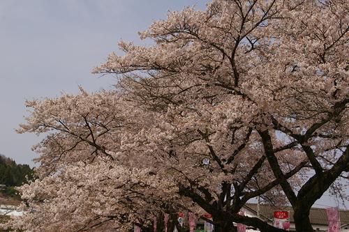 石川町のさくら祭り_b0283432_2110698.jpg