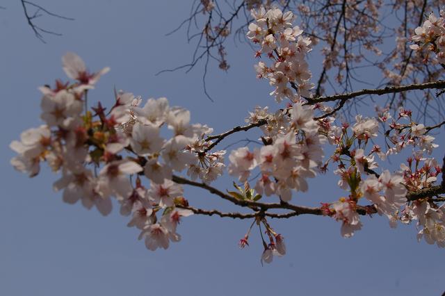 石川町のさくら祭り_b0283432_2171452.jpg