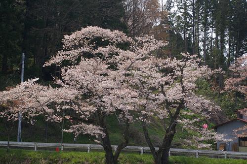 石川町のさくら祭り_b0283432_2192352.jpg