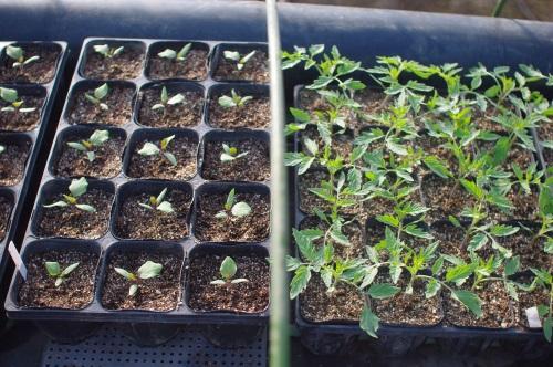 最近の夏野菜苗(トマト、ナス、ピーマン、キュウリ)_c0110869_1021375.jpg