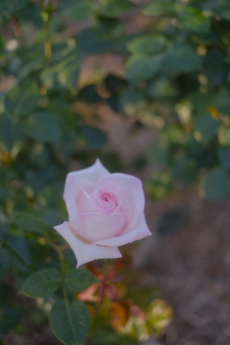 薔薇 2016 _f0021869_23383241.jpg