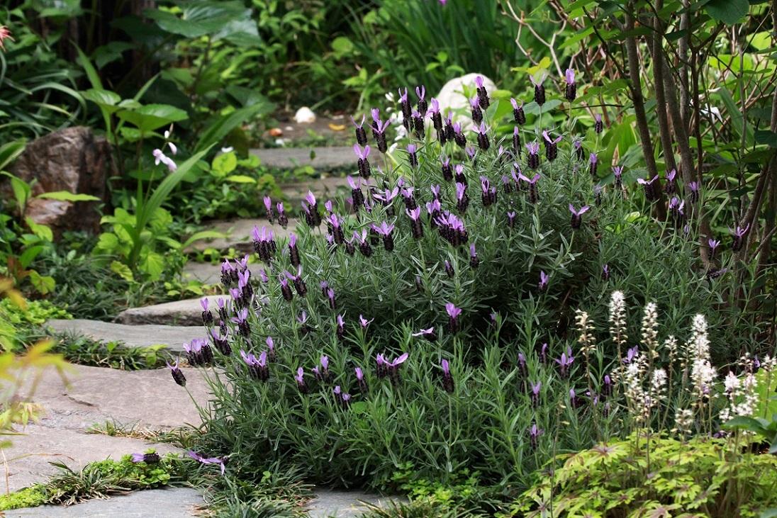 一日中庭に居たい季節                     ~オランダフウロソウ、ラベンダー、ヒューケラ~_a0107574_18445615.jpg