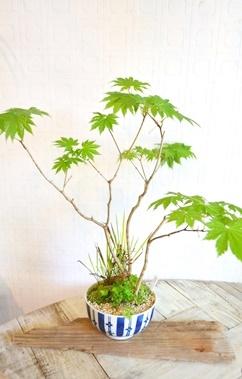 盆栽・苔玉 新入荷のご案内_d0263815_1712232.jpg