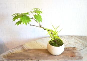 盆栽・苔玉 新入荷のご案内_d0263815_17124512.jpg