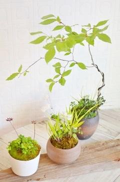 盆栽・苔玉 新入荷のご案内_d0263815_1763980.jpg