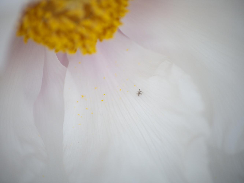 牡丹の花_e0169421_1653668.jpg