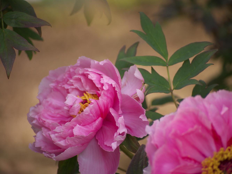 牡丹の花_e0169421_1653977.jpg