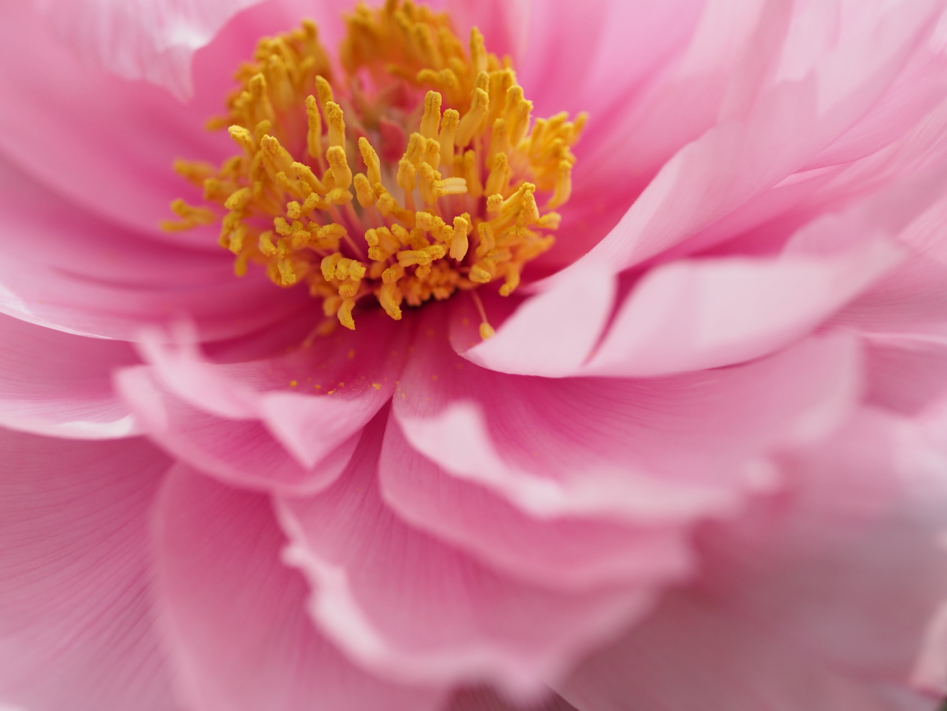 牡丹の花_e0169421_1654045.jpg