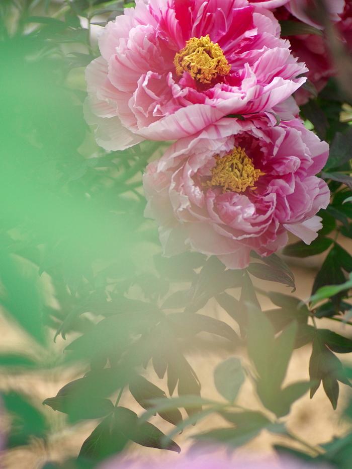 牡丹の花_e0169421_1654084.jpg