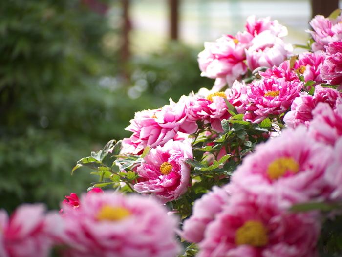 牡丹の花_e0169421_1654093.jpg