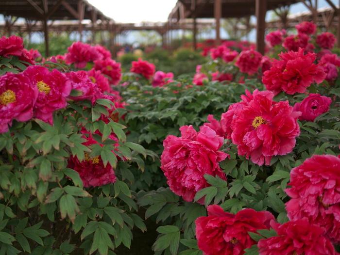 牡丹の花_e0169421_1654158.jpg