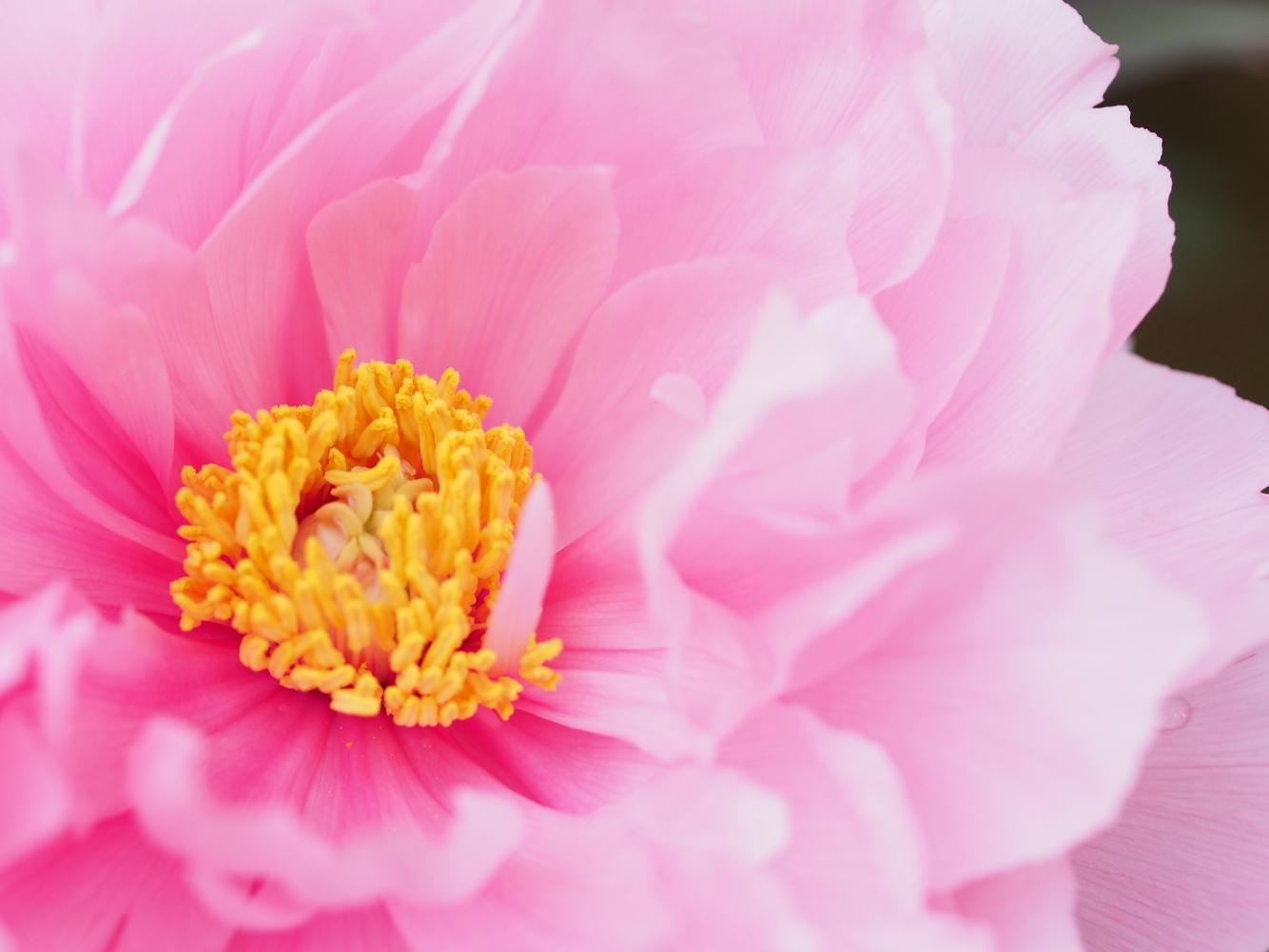 牡丹の花_e0169421_16947100.jpg