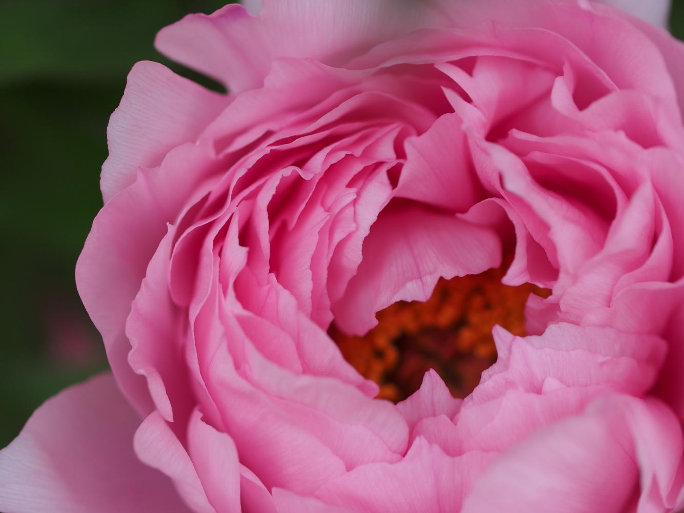 牡丹の花_e0169421_1698100.jpg
