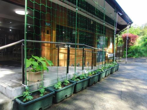 緑のカーテン作り & やと菜園開始♪_e0222340_154213100.jpg