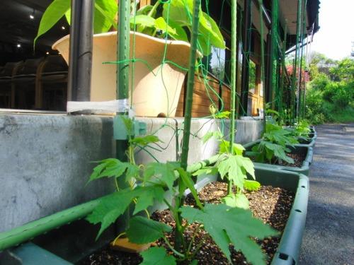 緑のカーテン作り & やと菜園開始♪_e0222340_15431293.jpg