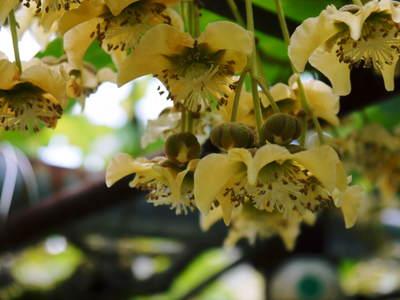 水源キウイ 2019開花宣言!今年は雄花と雌花がほぼ同時に!!今年も完全無農薬・無化学肥料で育てます!!_a0254656_18505674.jpg