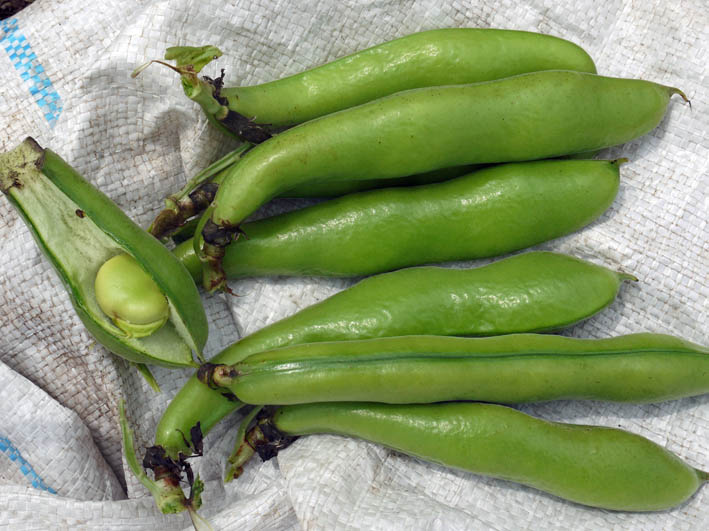 ソラマメ試しに収穫、スイカ・モロヘイヤなどの苗植え付け5・3_c0014967_10253011.jpg