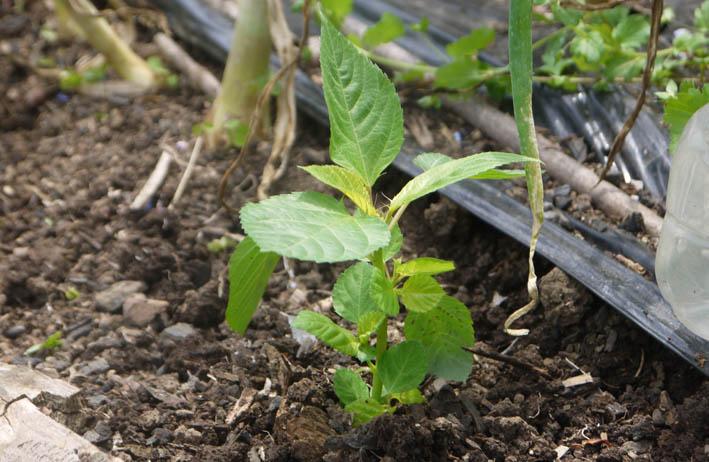 ソラマメ試しに収穫、スイカ・モロヘイヤなどの苗植え付け5・3_c0014967_10262616.jpg