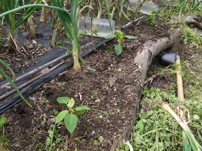 ソラマメ試しに収穫、スイカ・モロヘイヤなどの苗植え付け5・3_c0014967_10264118.jpg
