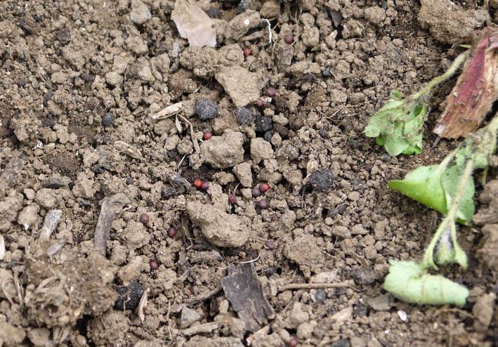 ソラマメ試しに収穫、スイカ・モロヘイヤなどの苗植え付け5・3_c0014967_10275326.jpg