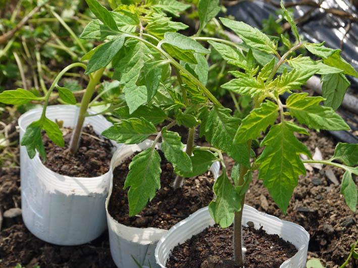 ソラマメ試しに収穫、スイカ・モロヘイヤなどの苗植え付け5・3_c0014967_1027573.jpg