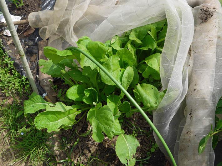 ソラマメ試しに収穫、スイカ・モロヘイヤなどの苗植え付け5・3_c0014967_10282272.jpg