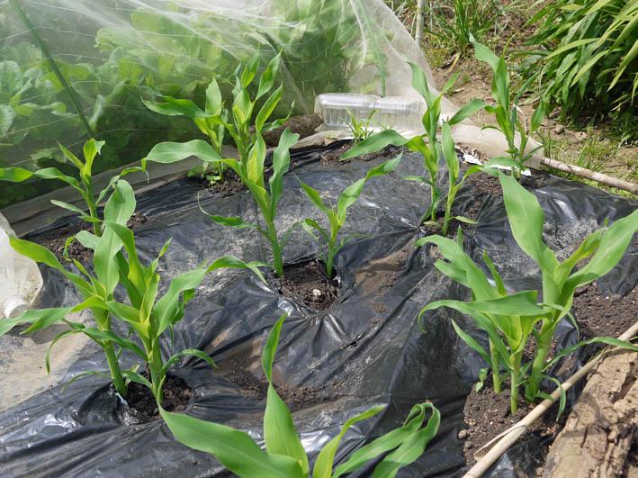 ソラマメ試しに収穫、スイカ・モロヘイヤなどの苗植え付け5・3_c0014967_10284283.jpg