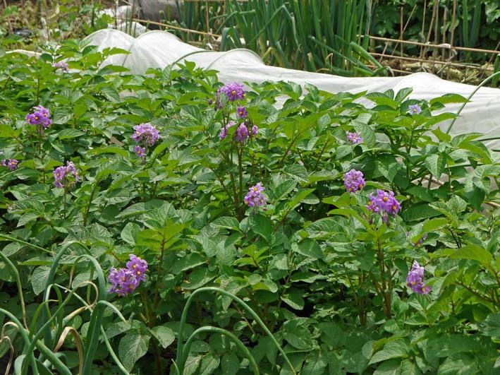 ソラマメ試しに収穫、スイカ・モロヘイヤなどの苗植え付け5・3_c0014967_10291161.jpg